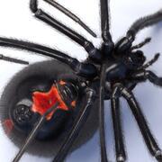 Aranha viúva negra 3d model