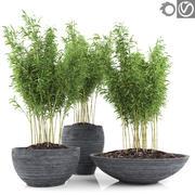 Plantas de bambú 2 (Fargesia Murielae) modelo 3d