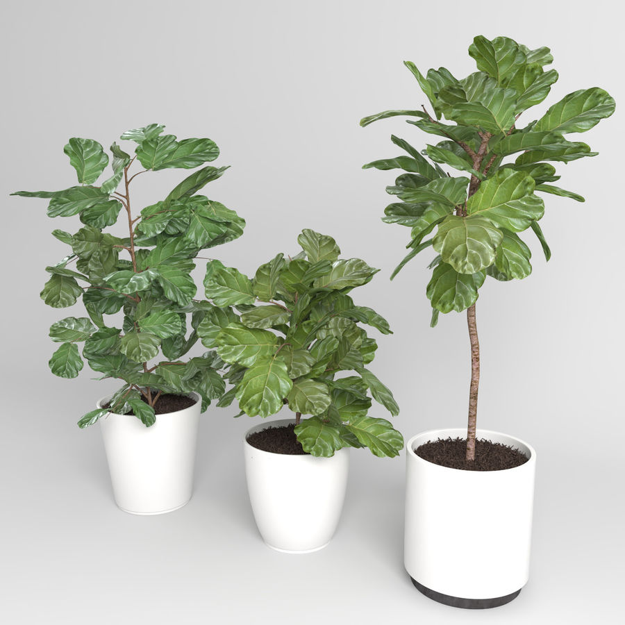Ficus Lyrata Trees (+ GrowFX) royalty-free 3d model - Preview no. 4
