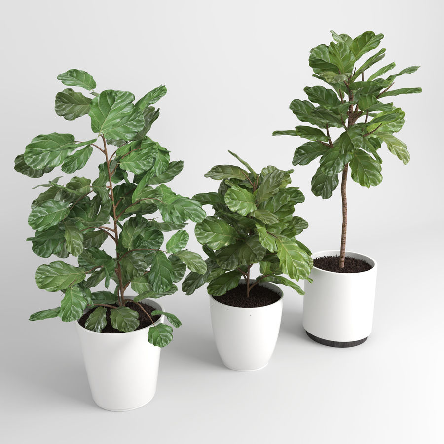 Ficus Lyrata Trees (Fiddle-Leaf Fig) royalty-free modelo 3d - Preview no. 2