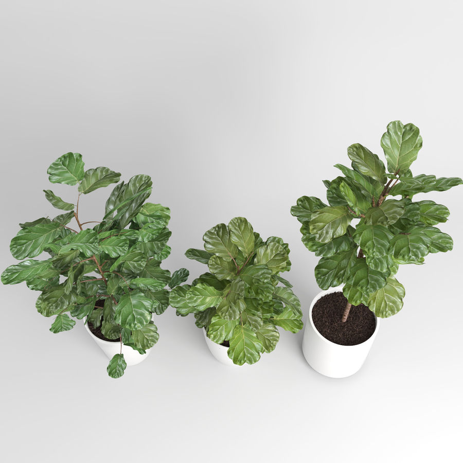 Ficus Lyrata Trees (Fiddle-Leaf Fig) royalty-free modelo 3d - Preview no. 5
