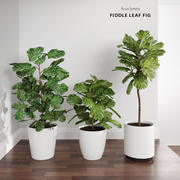 Ficus Lyrata Trees (+GrowFX) 3d model
