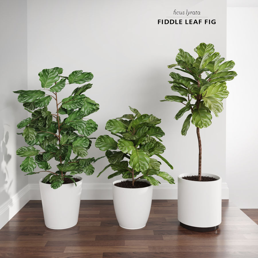 Ficus Lyrata Trees (Fiddle-Leaf Fig) royalty-free modelo 3d - Preview no. 1