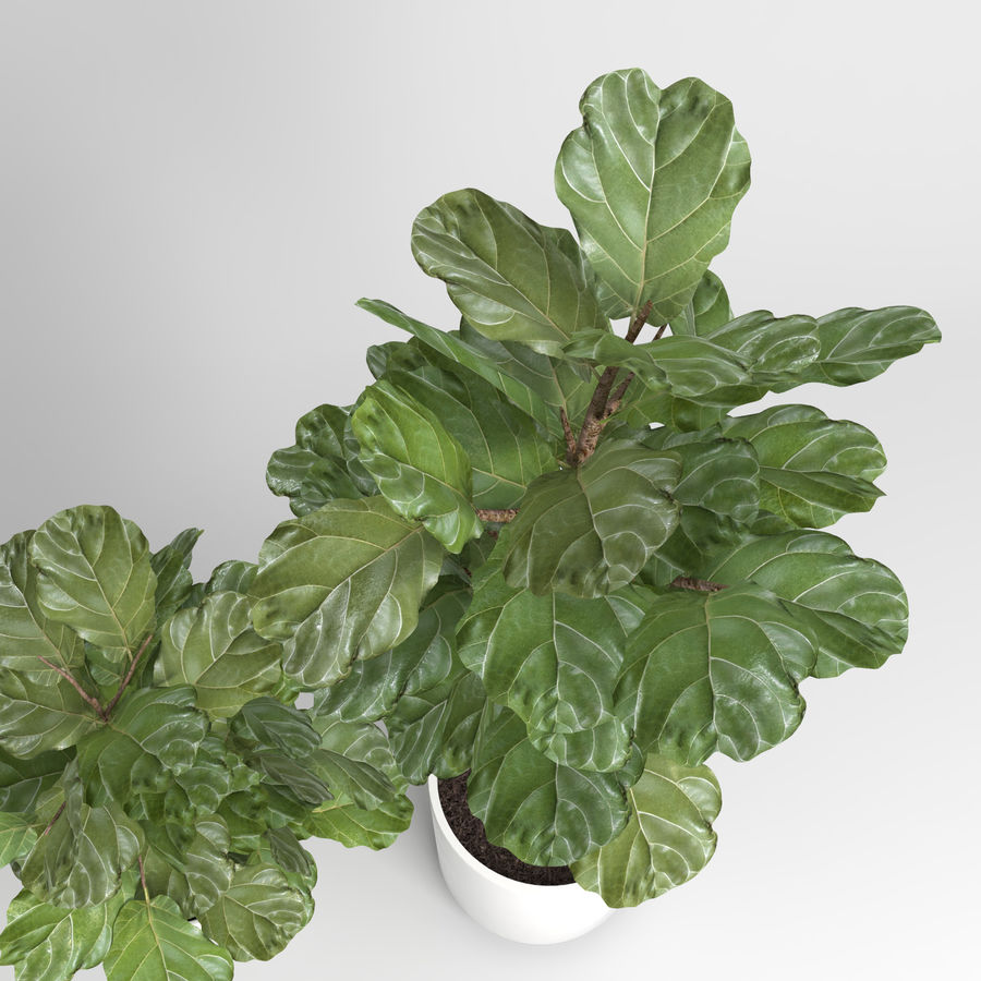 Ficus Lyrata Trees (Fiddle-Leaf Fig) royalty-free modelo 3d - Preview no. 7
