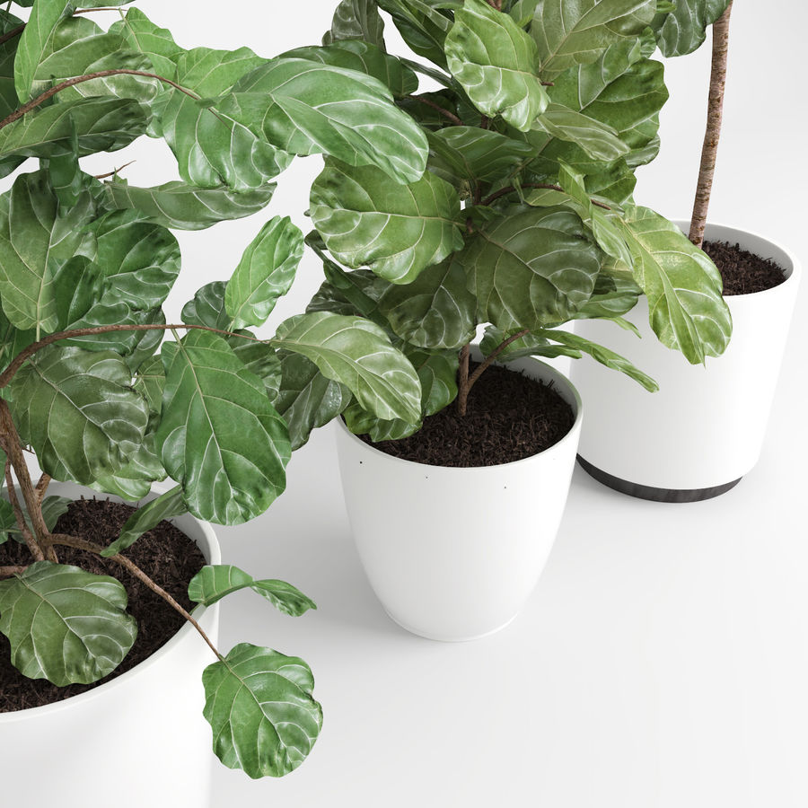 Ficus Lyrata Trees (Fiddle-Leaf Fig) royalty-free modelo 3d - Preview no. 6