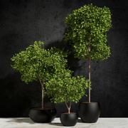 Bitkiler Ficus Benjamin 3d model