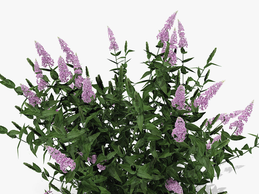 Pink Delight Butterfly Bush (359) royalty-free 3d model - Preview no. 6