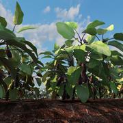 champ d'aubergine 3d model