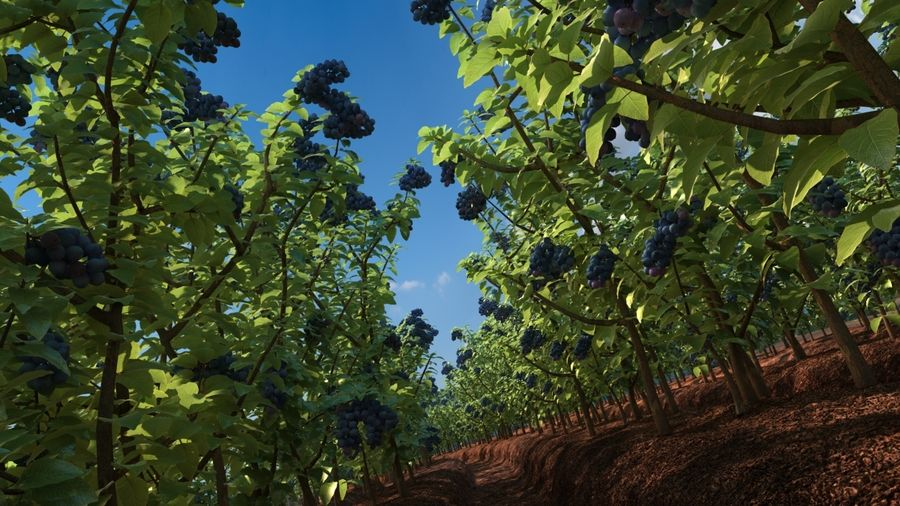 Blueberry Field royalty-free 3d model - Preview no. 1