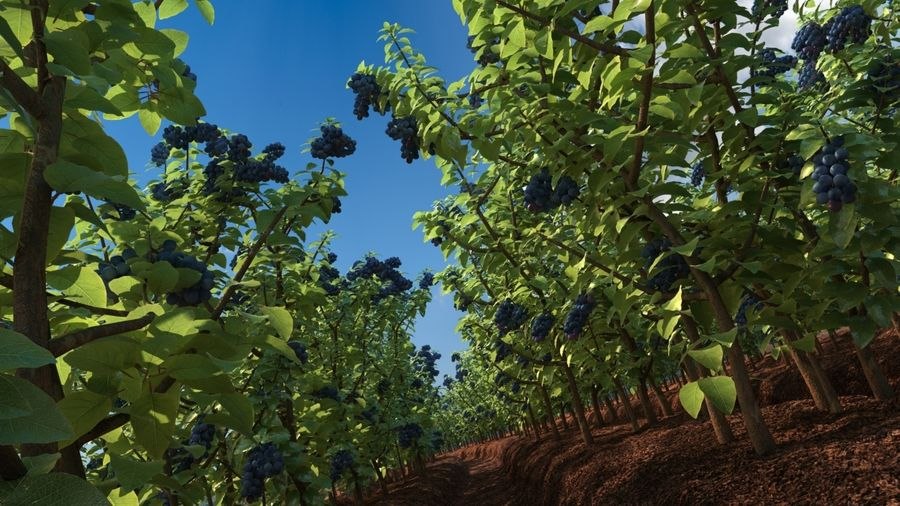 Blueberry Field royalty-free 3d model - Preview no. 2
