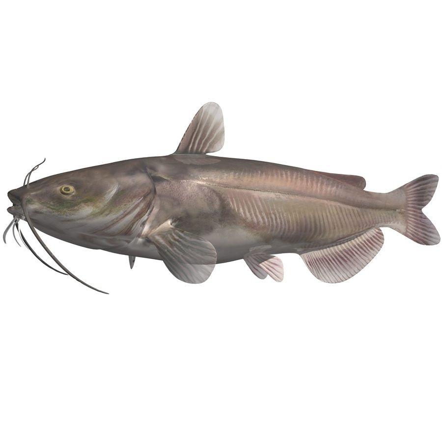 Pesce Gatto Del Canale Modello 3d 49 Obj Fbx Dae C4d 3ds
