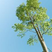 Buk (Fagus Sylvatica 2) 3d model