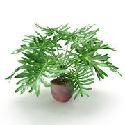 Philodendron Selluom 3d model