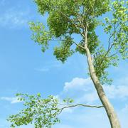 Drzewo bukowe (Fagus Sylvatica 3) 3d model