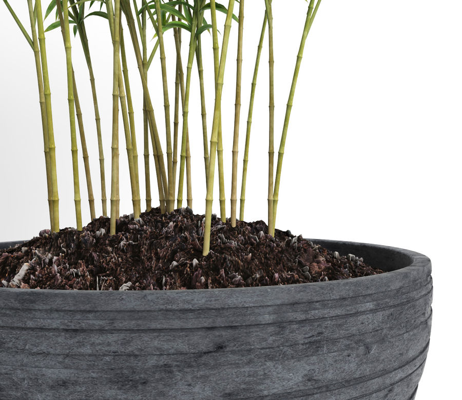 Bambúes paraguas (+ GrowFX) royalty-free modelo 3d - Preview no. 18