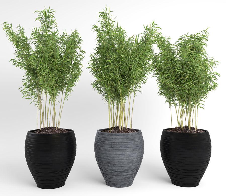 Bambúes paraguas (+ GrowFX) royalty-free modelo 3d - Preview no. 14