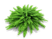 American Maidenhair Fern (214) 3d model