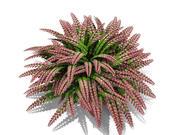 Rosy Australian Maidenhair Fern (213) 3d model