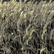 Buğday 3d model
