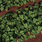 zucchini Field 3d model