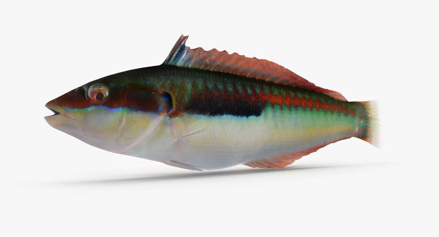 Rainbow Wrasse royalty-free 3d model - Preview no. 2