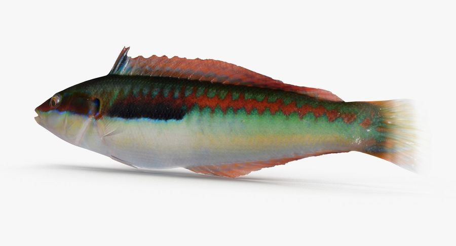 Rainbow Wrasse royalty-free 3d model - Preview no. 3