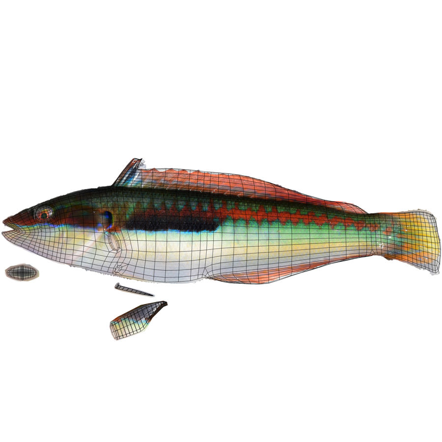 Rainbow Wrasse royalty-free 3d model - Preview no. 10