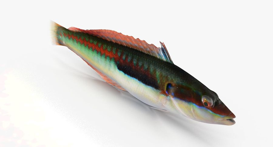 Rainbow Wrasse royalty-free 3d model - Preview no. 5