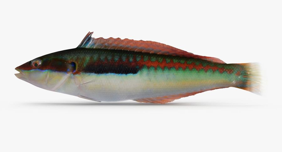 Rainbow Wrasse royalty-free 3d model - Preview no. 7