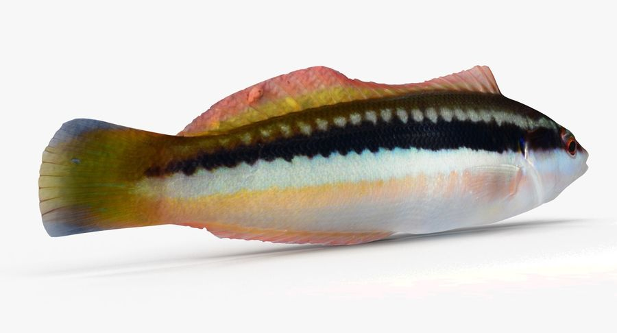 Rainbow Wrasse 02 royalty-free 3d model - Preview no. 3