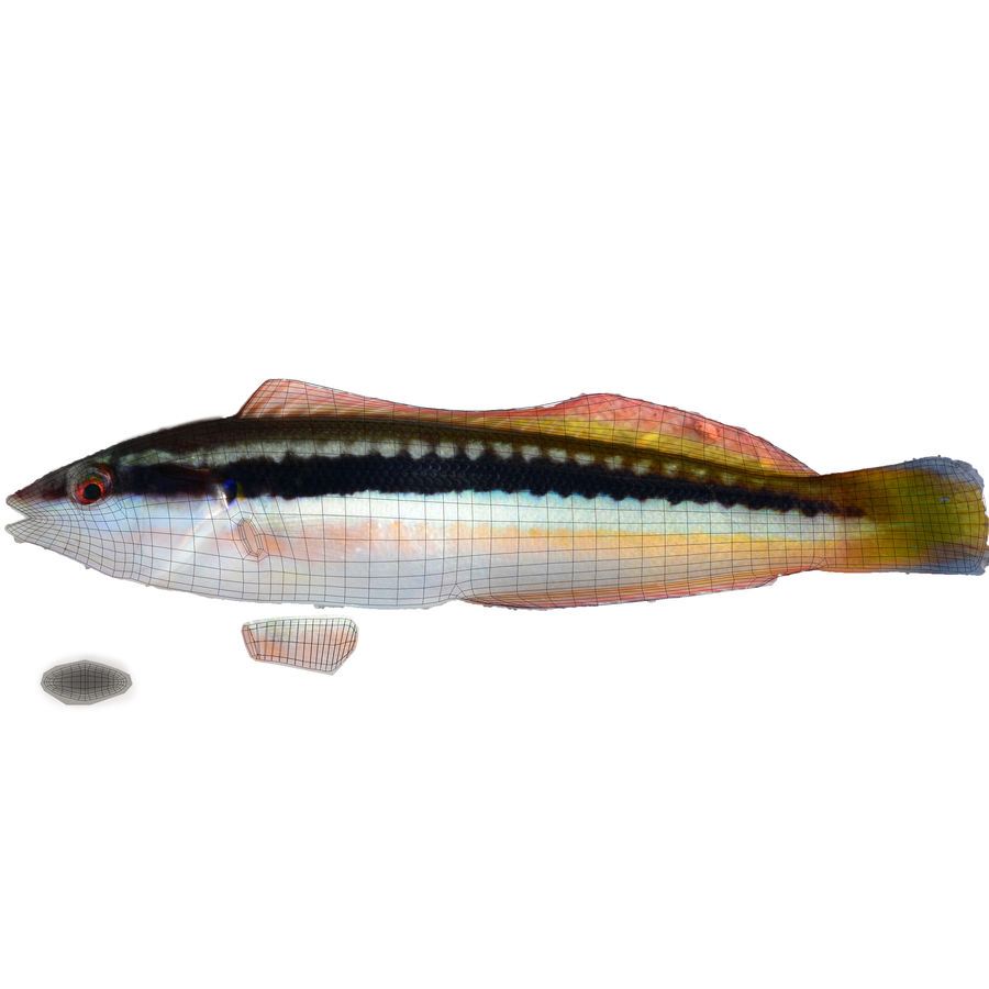 Rainbow Wrasse 02 royalty-free 3d model - Preview no. 10