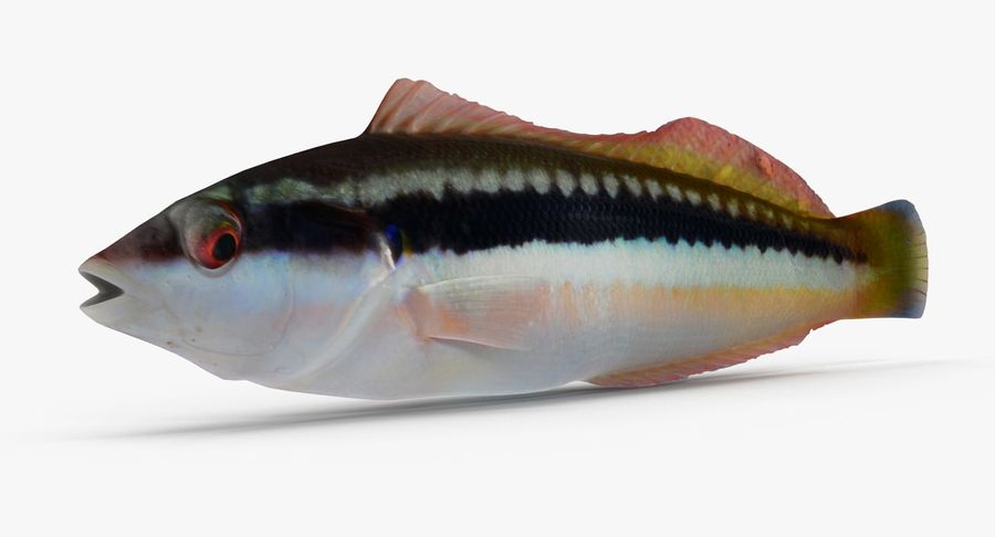 Rainbow Wrasse 02 royalty-free 3d model - Preview no. 2