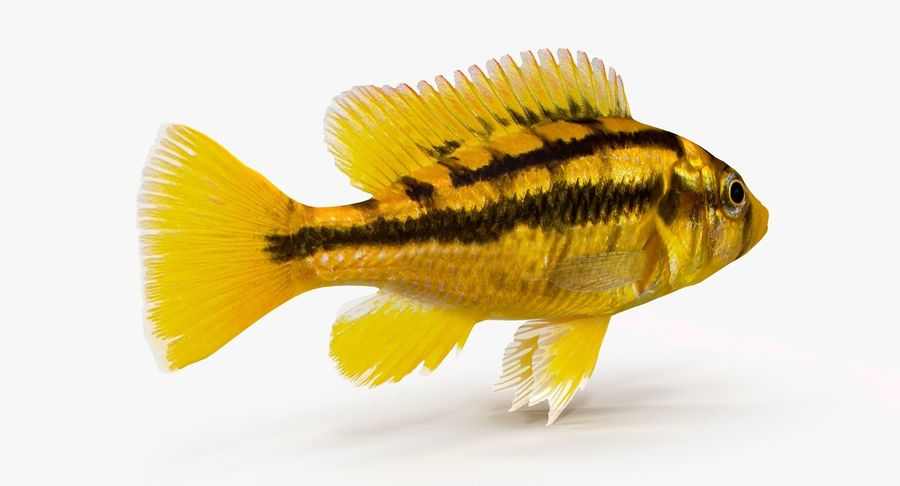 Haplochromis Sauvagei Cichlid royalty-free 3d model - Preview no. 5