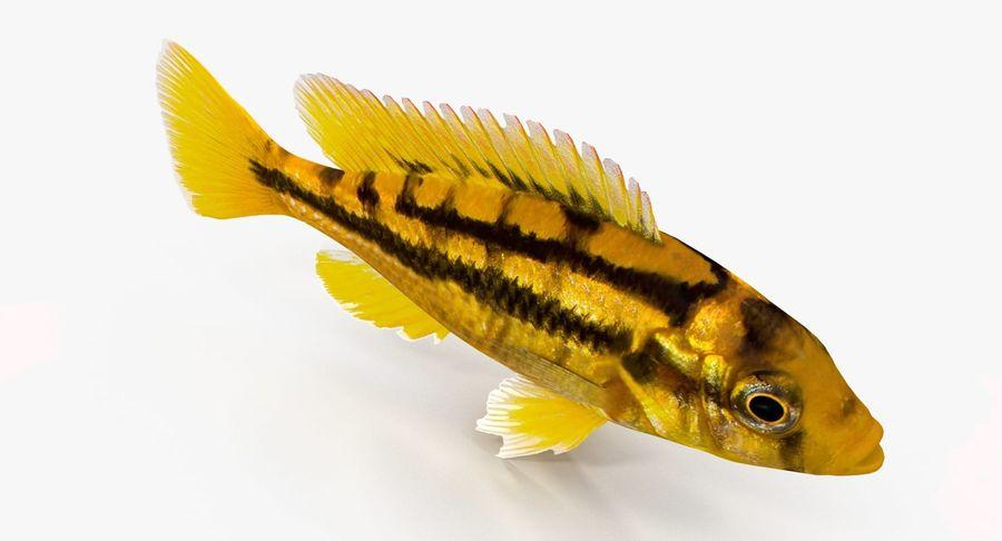 Haplochromis Sauvagei Cichlid royalty-free 3d model - Preview no. 6
