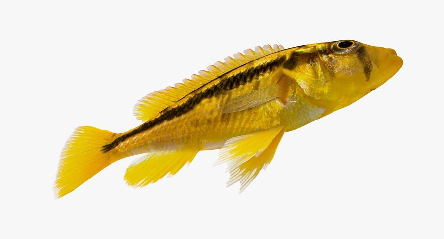 Haplochromis Sauvagei Cichlid royalty-free 3d model - Preview no. 8