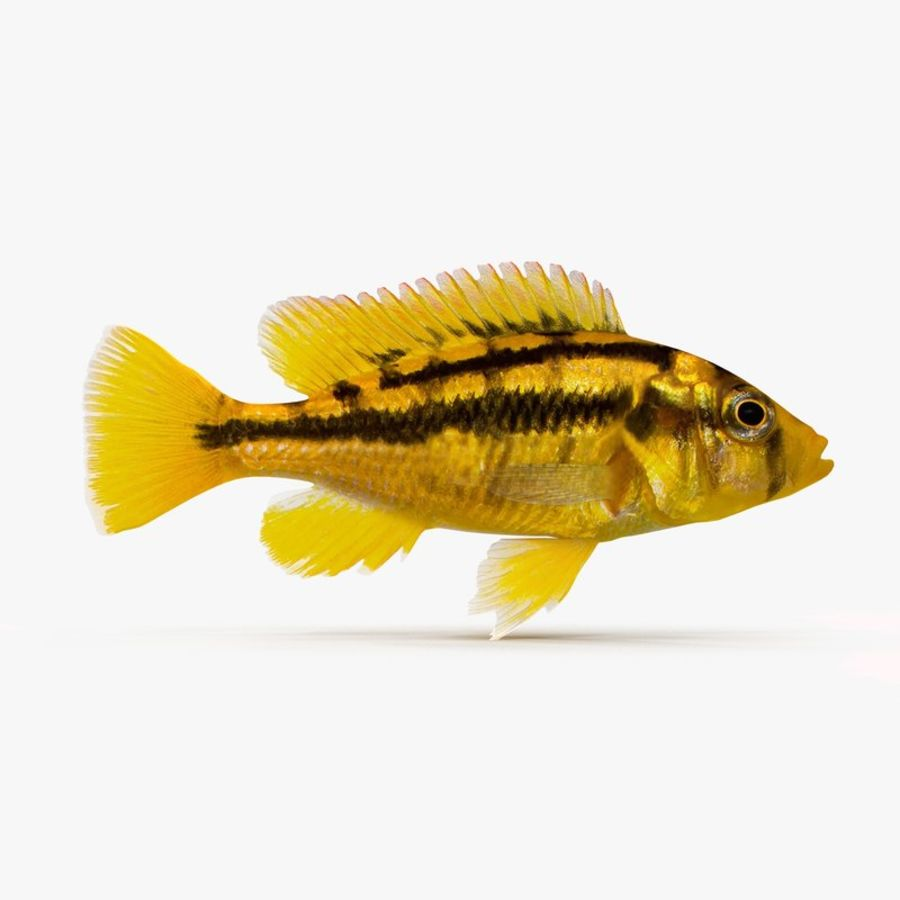 Haplochromis Sauvagei Cichlid royalty-free 3d model - Preview no. 1