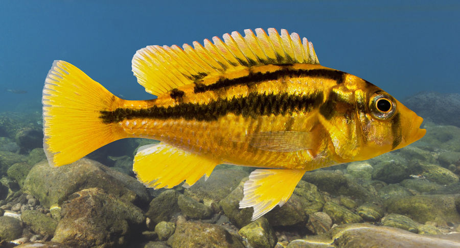 Haplochromis Sauvagei Cichlid royalty-free 3d model - Preview no. 3