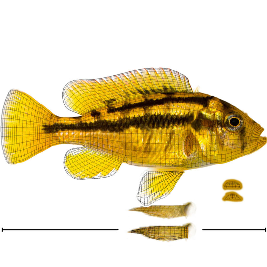 Haplochromis Sauvagei Cichlid royalty-free 3d model - Preview no. 11