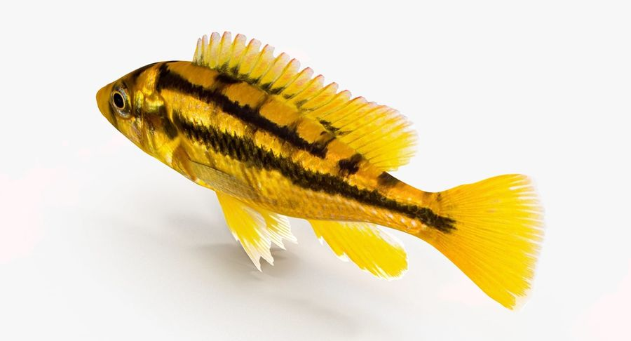 Haplochromis Sauvagei Cichlid royalty-free 3d model - Preview no. 7
