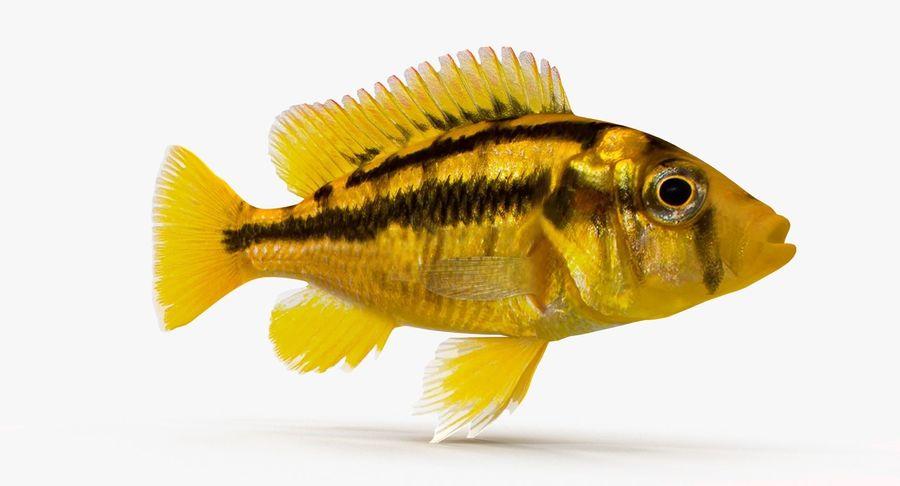 Haplochromis Sauvagei Cichlid royalty-free 3d model - Preview no. 4