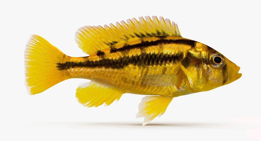 Haplochromis Sauvagei Cichlid royalty-free 3d model - Preview no. 2