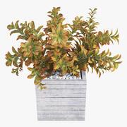 Croton tree 3d model