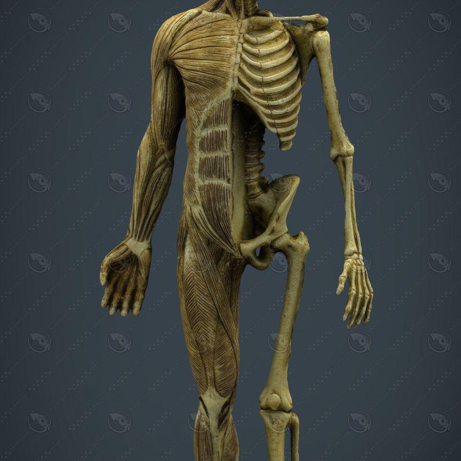 HUMAN BODY ANATOMY MODEL royalty-free 3d model - Preview no. 8