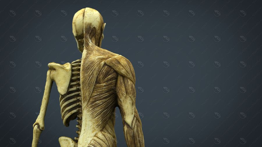 HUMAN BODY ANATOMY MODEL royalty-free 3d model - Preview no. 7