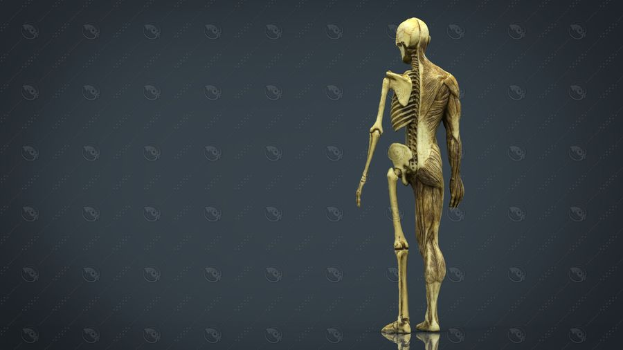 HUMAN BODY ANATOMY MODEL royalty-free 3d model - Preview no. 6