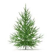 挪威云杉(Picea abies)1.5m 3d model