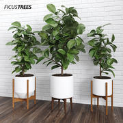Ficusbomen (+ GrowFX) 3d model