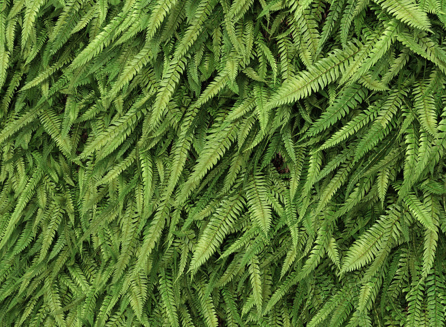 Scatterable Fern Wall (Leptosporangiate) royalty-free 3d model - Preview no. 6