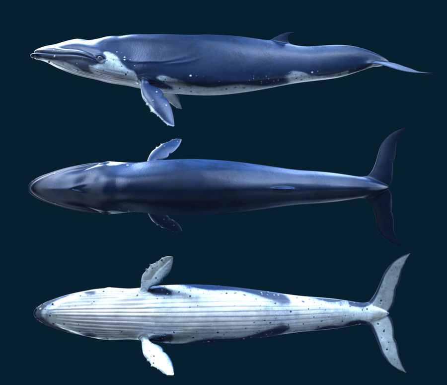 Blue_Whale_Rigged royalty-free 3d model - Preview no. 3