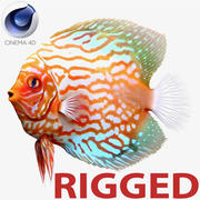 Symphysodon Fish Rigged per Cinema 4D 3d model